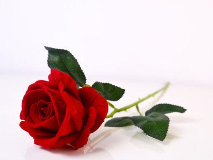 Slika Ruža 52 cm